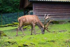 Cervos em um parque fotos de stock