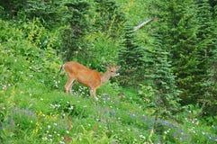 Cervos em um prado Imagens de Stock Royalty Free