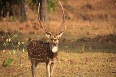 Cervos em uma pose majestosa Imagem de Stock Royalty Free