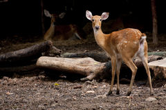 Cervos encantadores Fotografia de Stock Royalty Free