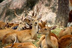 Cervos entre seu rebanho Foto de Stock Royalty Free