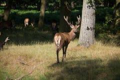 Cervos esplêndidos que estão com o rebanho na grama na paridade de Richmond Foto de Stock