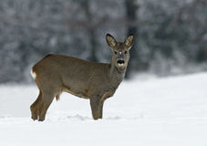 Cervos europeus das ovas (capreolus do Capreolus) Fotografia de Stock Royalty Free