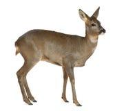 Cervos europeus das ovas, capreolus do Capreolus, 3 anos Imagens de Stock Royalty Free