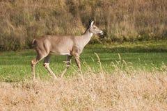 Cervos fêmeas Foto de Stock Royalty Free