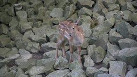 Cervos fêmeas bonitos na floresta da montanha filme