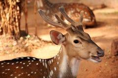 Cervos fêmeas da linha central imagens de stock royalty free