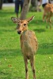 Cervos fêmeas novos Imagem de Stock