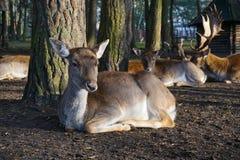 Cervos, floresta, cerco imagens de stock