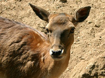 Cervos II Fotos de Stock Royalty Free