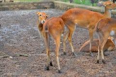 Cervos indianos Fotografia de Stock Royalty Free