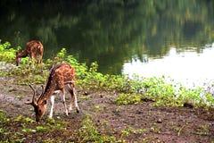Cervos indianos do porco que pastam em torno do lago foto de stock royalty free