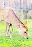 Cervos japoneses bonitos que comem a grama em Nara fotografia de stock