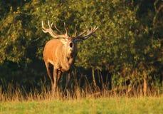 Cervos majestosos na rotina Imagem de Stock Royalty Free