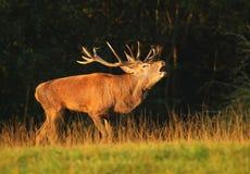 Cervos majestosos na rotina Fotos de Stock
