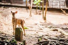 Cervos manchados Fotos de Stock
