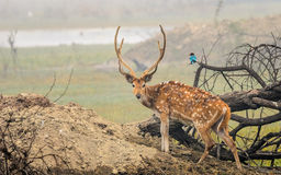 Cervos manchados Fotografia de Stock Royalty Free