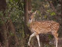 Cervos manchados 2 fotografia de stock royalty free