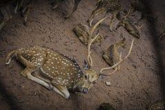 Cervos manchados com descanso dos chifres foto de stock royalty free