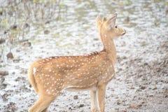Cervos manchados indiano fotografia de stock