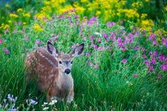 Cervos manchados jovens no prado das flores imagens de stock royalty free
