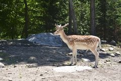 Cervos manchados na floresta fotografia de stock royalty free