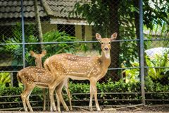 cervos manchados no jardim zoológico Imagens de Stock Royalty Free