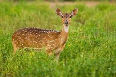 Cervos manchados olhar fixamente Fotografia de Stock Royalty Free