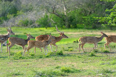 Cervos manchados selvagens Imagem de Stock Royalty Free