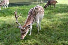 Cervos masculinos Dappled que comem a grama Fotografia de Stock Royalty Free