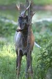Cervos masculinos das ovas (capreolus do Capreolus) imagens de stock