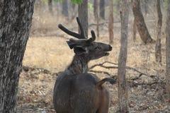Cervos masculinos do sambher em encontrar a chamada foto de stock royalty free