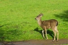 Cervos masculinos novos após ter derramado seus chifres, Califórnia imagem de stock