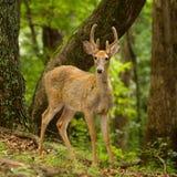 Cervos masculinos novos da cauda branca Imagens de Stock Royalty Free