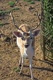 Cervos masculinos novos do sika Foto de Stock