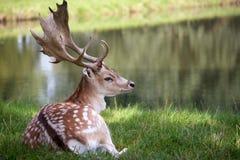 Cervos masculinos que encontram-se na grama Imagens de Stock Royalty Free