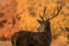 Cervos masculinos que olham atrás em um parque foto de stock