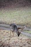 Cervos masculinos que pastam no outono Foto de Stock