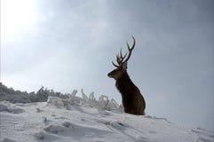 Cervos masculinos sós Fotografia de Stock Royalty Free