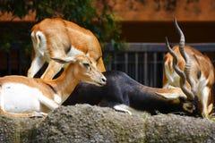 Cervos mim Fotografia de Stock Royalty Free