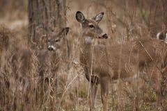 Cervos Montana da cauda branca Imagem de Stock