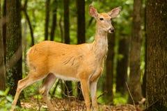 Cervos Montana da cauda branca Imagens de Stock