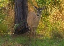 Cervos Montana da cauda branca Imagens de Stock Royalty Free