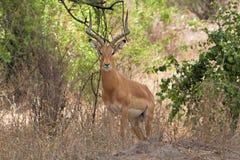 Cervos na área da conservação de Ngorongoro, Tanzânia Fotos de Stock