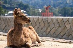 Cervos na areia Foto de Stock Royalty Free