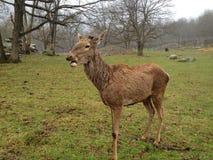 Cervos na chuva Imagens de Stock