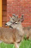 Cervos na cidade Imagens de Stock