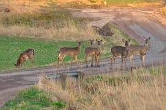 Cervos na estrada fotos de stock royalty free