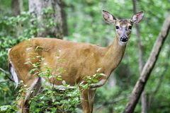 Cervos na floresta Fotografia de Stock Royalty Free