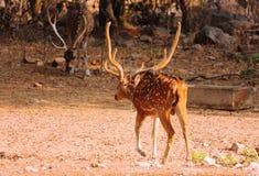 Cervos na floresta e pesquisa pelo alimento e por outras necessidades naturais fotografia de stock